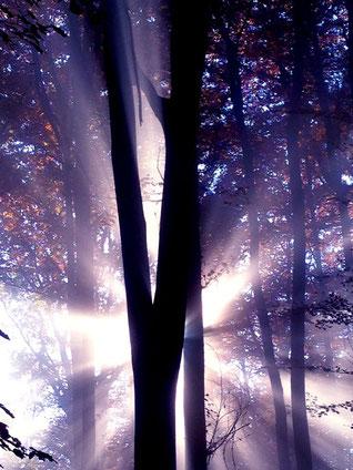 Wald violet