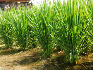 朝日に輝くたくましい稲