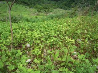 鹿による食害の跡。茎が同じ長さのところで食われている。