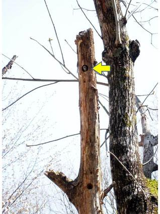 巣穴から顔を出すコゲラ(小型のキツツキ)