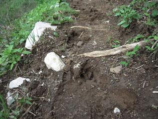 いたるところに鹿の足跡。