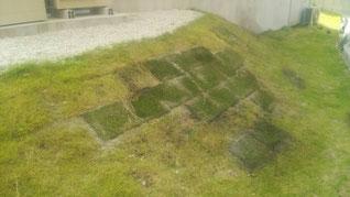 剥げてしまった部分に芝生を植え込みます
