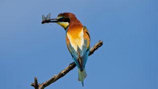 European Bee-eater, Bienenfresser, Merops apiaster