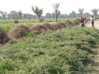 収穫したヘナ~天日に干して葉を取ります。