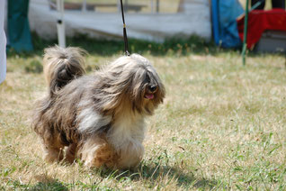 BOB Knittelsheim 2014 Tibet Terrier Habakuk-Tibatong's O'Kirana