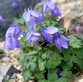 ミヤマオダマキ(紫)