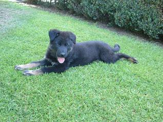 Arco junior.  Geboren april 2014.     7 weken oud