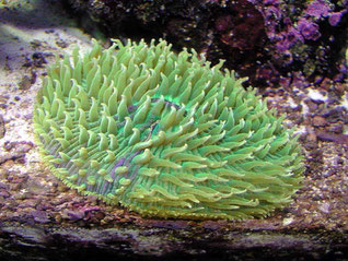 Fungia sp verde