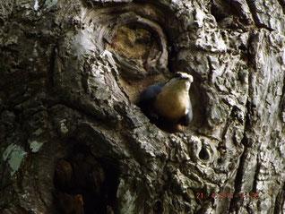 Sortie du nid avec une fiente des petits