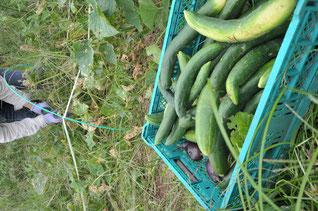 地這いキュウリ 自然栽培 農業体験 体験農場 野菜作り教室