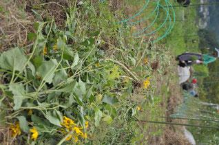キクイモ 自然栽培 農業体験 体験農場 野菜作り教室