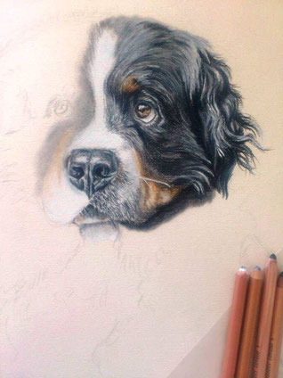 dog drawing in progress (pastel)