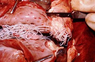 Hundeherz mit Herzwürmern, Alan R Walker, Wikipedia