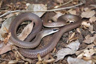 Rufous Beaked Snake (Rhamphiophis oxyrhynchus)