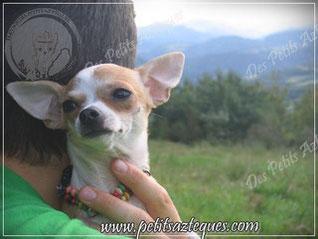 Eleveur de chihuahua