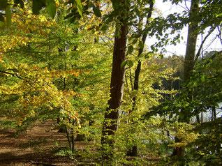 Buchenwald bei Serrahn @ Müritz Nationalpark