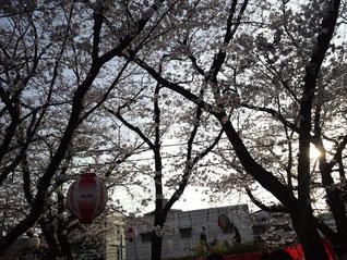 【桜が満開】