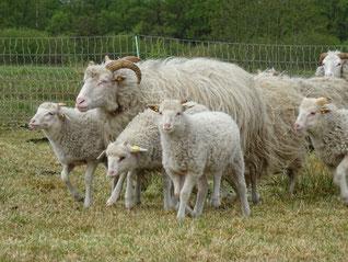 Schafe des NABU Woldenhofs