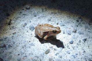 ヒメアマガエル 幼体 約1cm
