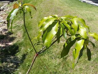 タイノウマンゴー 葉の緑化