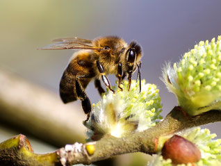 Honigbiene auf Weidenblüte. - Foto: Kathy Büscher