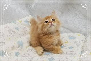 子猫の格安販売!猫の部屋セイワ。可愛いド短足マンチカンの子猫です。