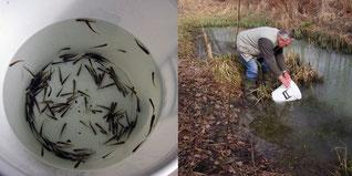 Fische aussetzen Foto: K-H Kuhn