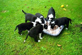 junge Border-Collies beim Fressen