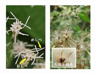 写真4.花のつくりと種