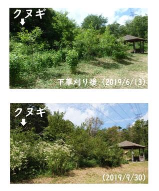 写真2.下草刈り跡にヒヨドリバナが生育した様子