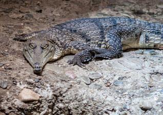 Krokodil Handtasche Sommerkafi Sool