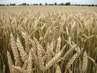 Weizen vor der Abreife zwischen Gröbzig und Edlau