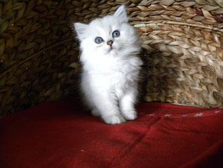 BLH-Katzenmädchen, geb. 30.7.13 (auf dem Foto: 6 Wochen alt)