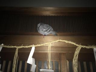 家の玄関に鳩が・・・