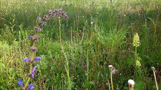 14.05.2019 : die ersten Blüten zeigen sich, so z.B. der Wiesen-Salbei und die Gelbe Resede - im April wurde wegen stärkerem Bewuchs noch einmal komplett abgemäht, dass sich die eigentlichen Blattrosetten entfalten können.