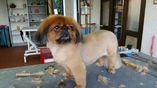 Dogs Cut Hundesalon Delmenhorst unser Kunde Lou nachher