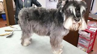 Dogs Cut Hundesalon Delmenhorst unser Kunde Scubby vorher