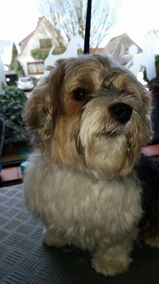 Dogs Cut Hundesalon Delmenhorst unser Kunde Toby vorher