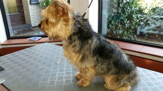 Dogs Cut Hundesalon Delmenhorst unser Kunde Balou vorher