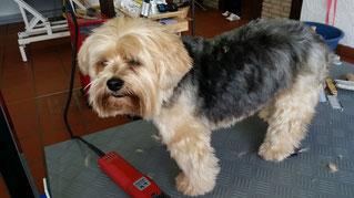Dogs Cut Hundesalon Delmenhorst unser Kunde Castello vorher