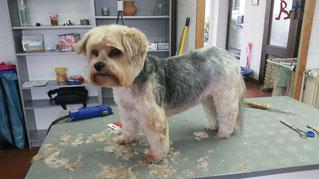 Dogs Cut Hundesalon Delmenhorst unser Kunde Castello nachher