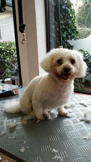 Dogs Cut Hundesalon Delmenhorst unser Kunde Bella nachher