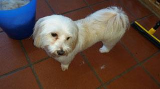 Dogs Cut Hundesalon Delmenhorst unser Kunde Lilly Lotta nachher