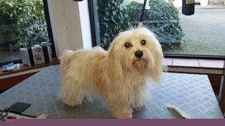 Dogs Cut Hundesalon Delmenhorst unser Kunde Lilly Lotta vorher
