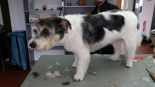 Dogs Cut Hundesalon Delmenhorst unser Kunde Benny nachher