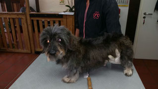 Dogs Cut Hundesalon Delmenhorst unser Kunde Mira vorher