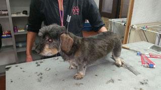 Dogs Cut Hundesalon Delmenhorst unser Kunde Mira nachher
