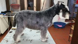 Dogs Cut Hundesalon Delmenhorst unser Kunde Scubby nachher