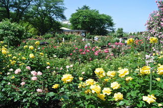 金沢市なんやら公園はいまバラが満開