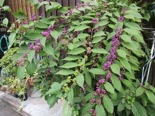 ムラサキシキブが紫色に